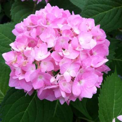 Hydrangea With Light Pink Blooms
