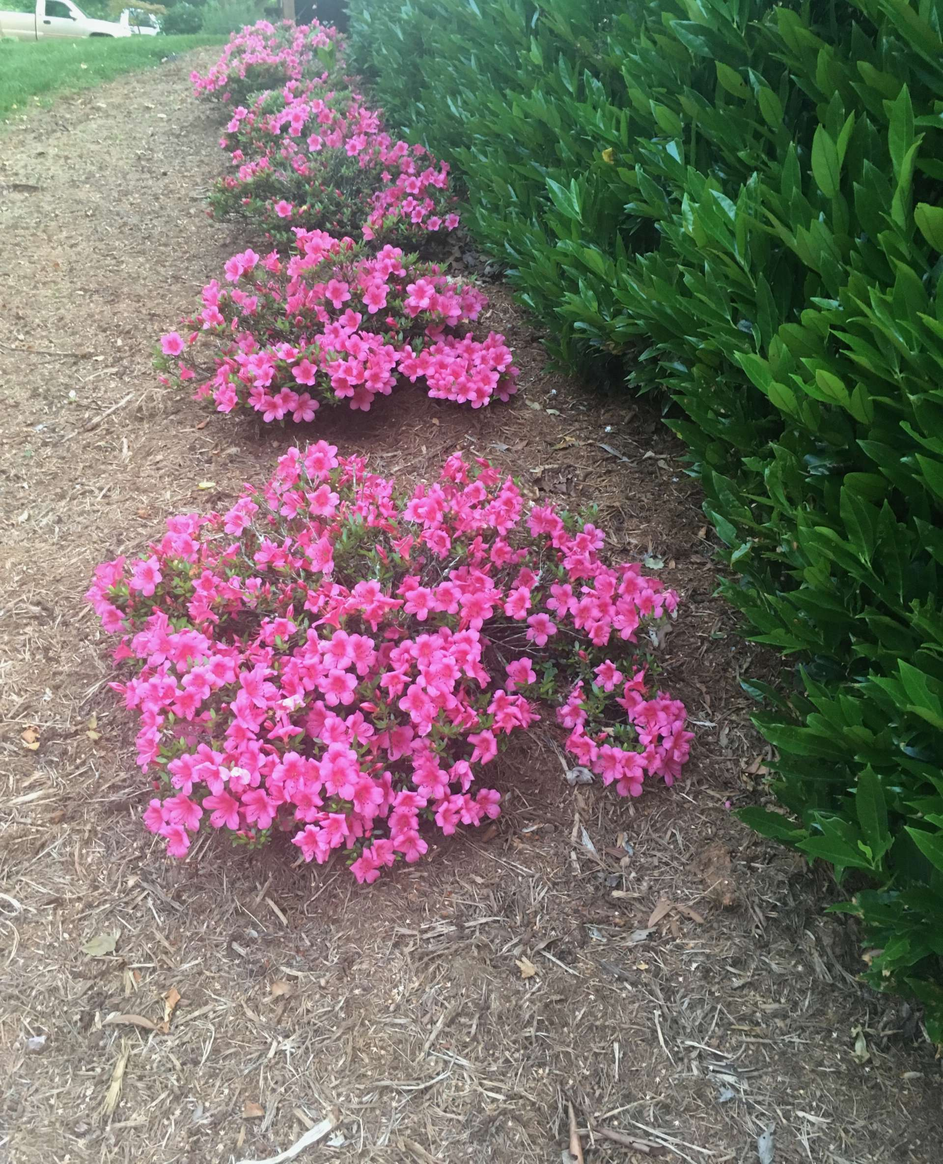Chinsoy Pink Azaleas planted in a row