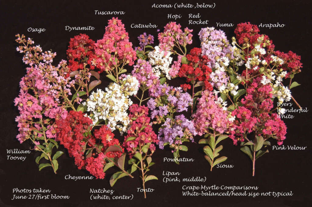 Composite of crape myrtles just to show wide diversity of colors scaled