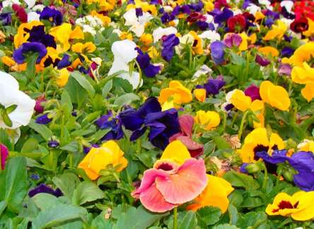 Planting and Caring for Pansies