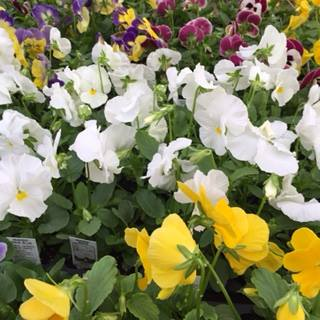 Pansies Yellow White Mix