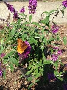 Butterfly Sitting on a Butterfly Bush bloom
