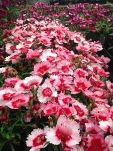 Light Pink Dianthus Blooms