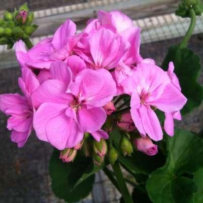 Geranimum Pink Blooms