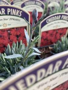 Cheddar Pinks flower bud