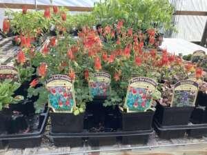 Dwarf Red Columbine in bloom