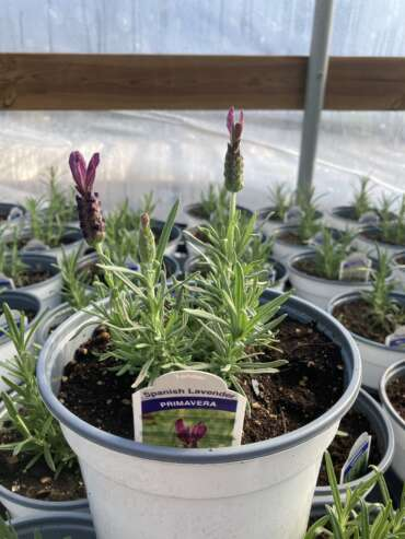 Primavera Spanish Lavender in bloom