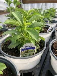 Stevia in a pot