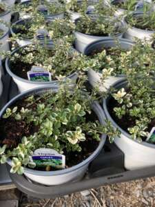 Foxley Thyme