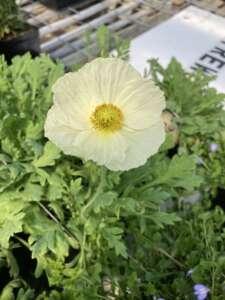 White Iceland Poppy Bloom
