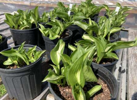 Hosta plant in a pots