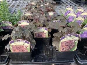 Palace Purple Coral Bells Heuchera