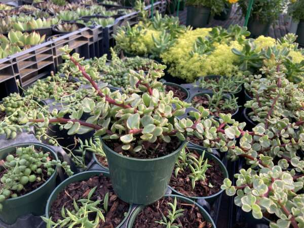 Assorted House plants in small pots