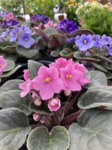 Pink and purple African violets