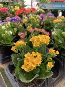 Yellow kalanchoe blooming