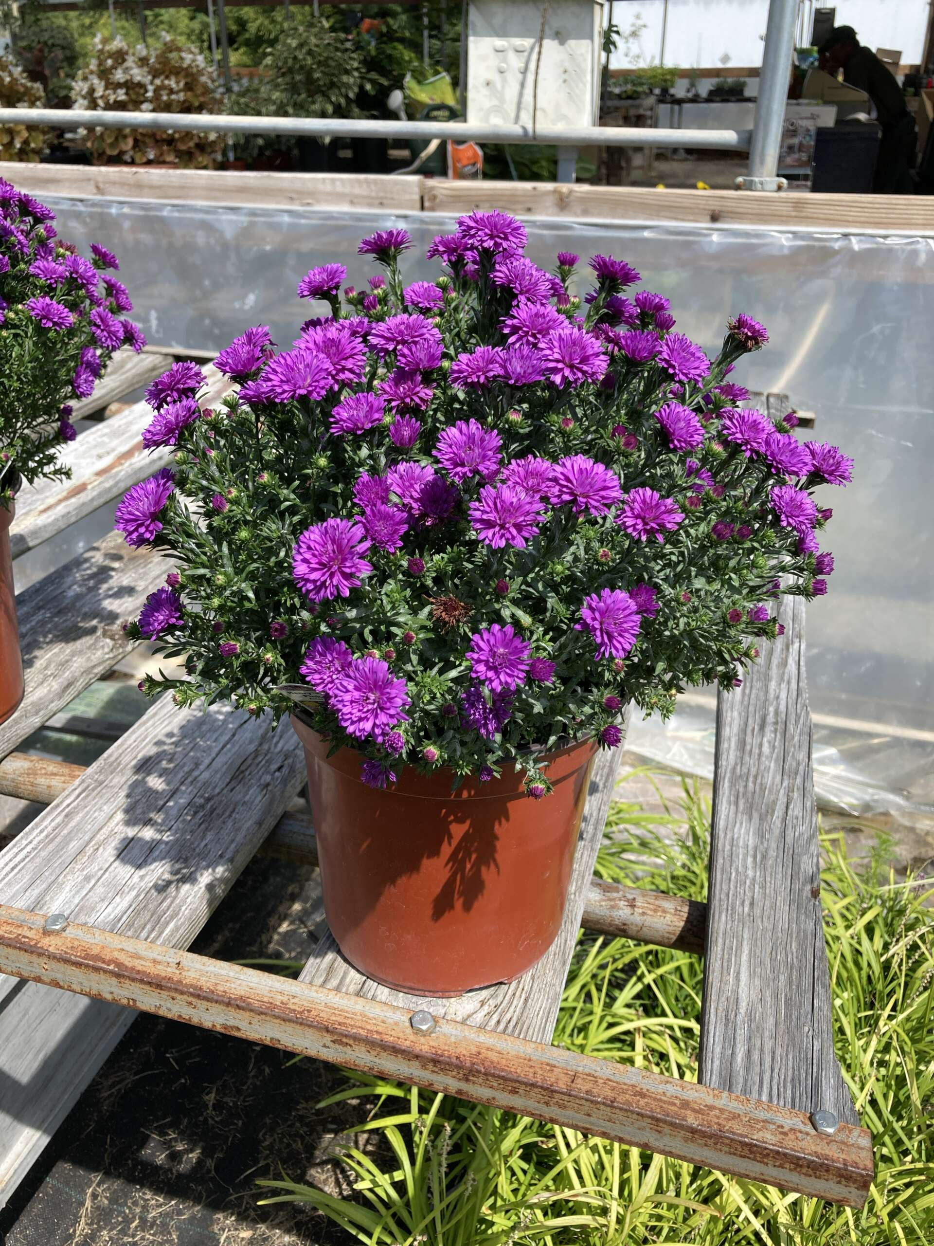 Purple Aster blooming in a pot