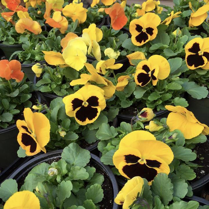 Pansies Yellow pansies in pots