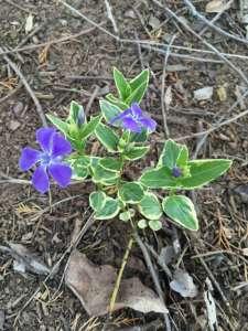 Periwinkle Vinca Minor with purple bloom