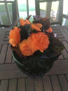 Orange Non-Stop Tuberous Begonia in a pot on a table
