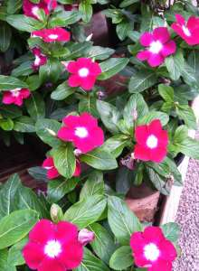 Pink Vinca Flower With white center