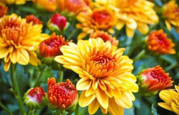 Chrysanthemum Orange Mum Blooms