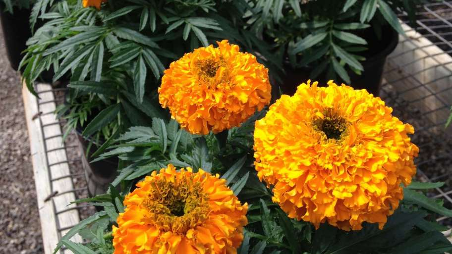 Marigolds Have Many Uses
